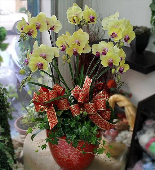 【吉祥】六株黃金蝴蝶蘭花盆栽