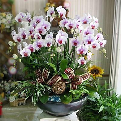 《極緻完美》12株人工培育白色蝴蝶蘭盆栽