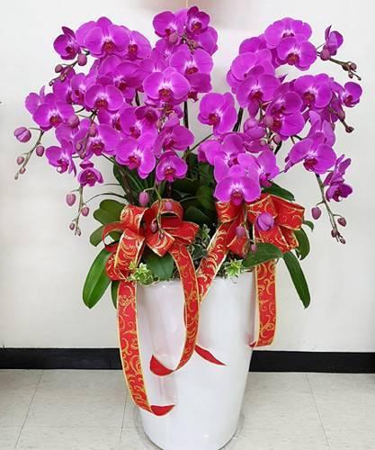 加大花器10株蝴蝶蘭花組合盆栽