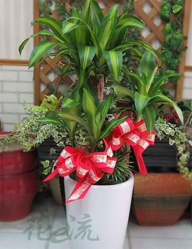 三層巴西鐵樹盆栽
