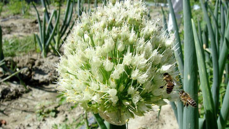 蜜蜂採花粉