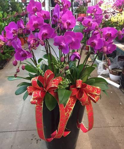 加大花器八株蝴蝶蘭花盆栽