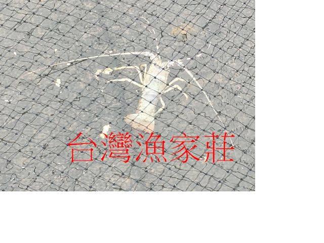 锦绣龙虾苗(花龙)