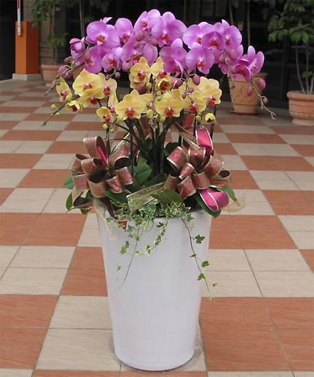 《雙喜臨門》大型加高花器12株雙色蝴蝶蘭組合盆栽